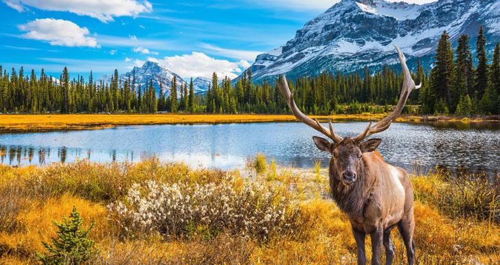 Canada moose