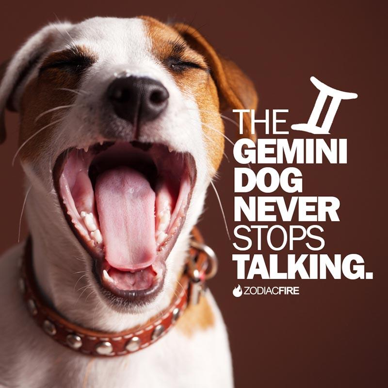 The Gemini dog never stops talking