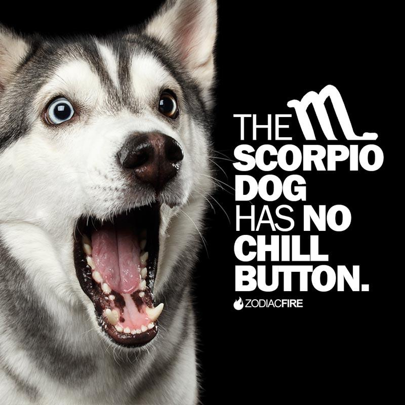The Scorpio dog has no chill button